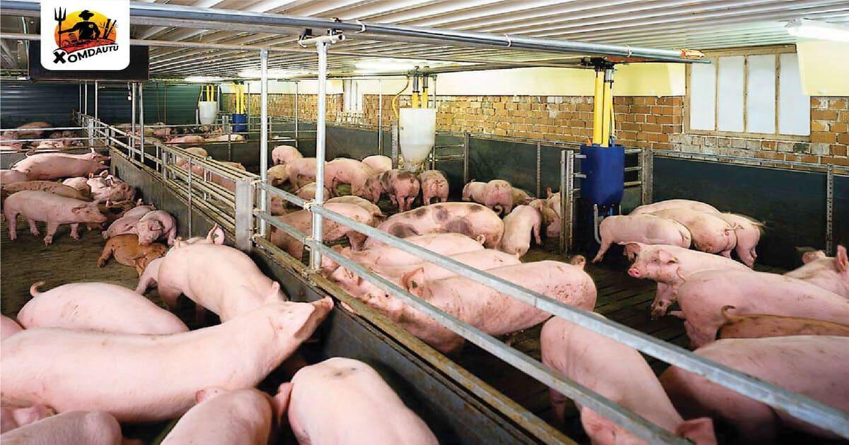 100 triệu kinh doanh gì ở nông thôn từ chăn nuôi heo