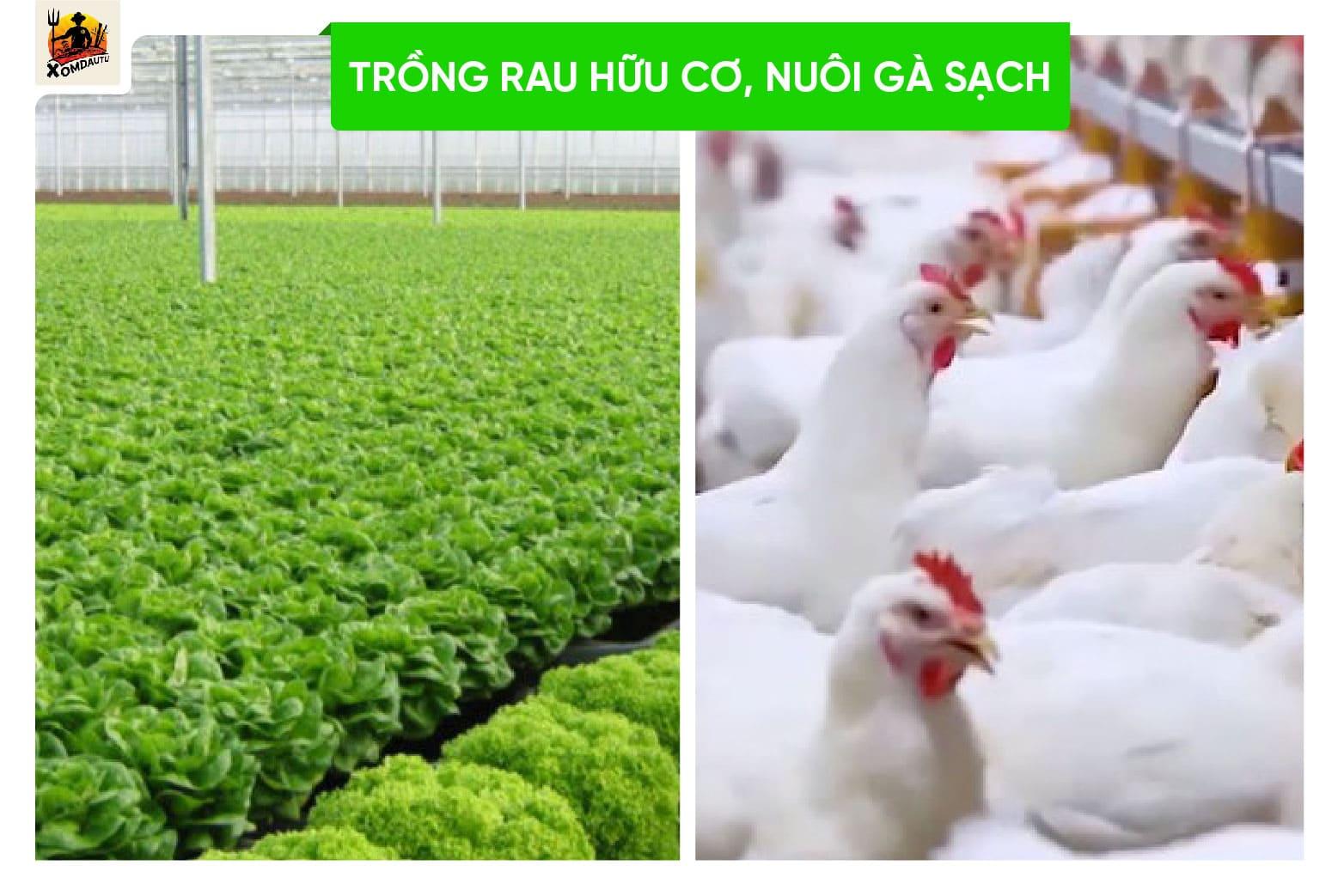 Nuoi Ga Sach Trong Rau Huu Cơ Voi Von 50 Trieu